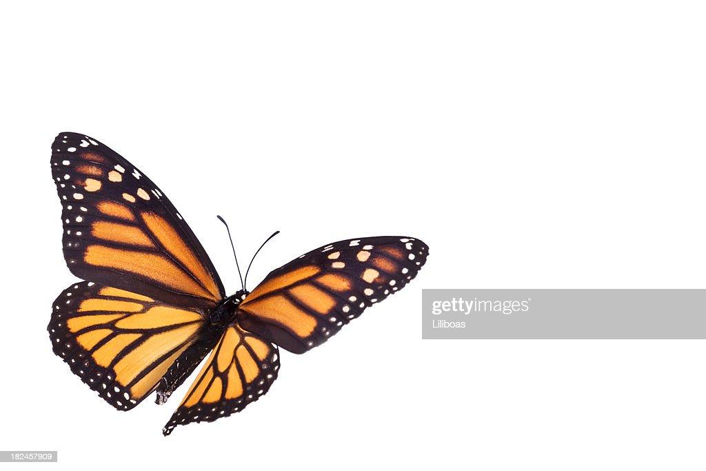 Monarch butterfly body - photo#10