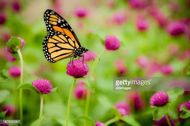 Papillon monarque (Danaus Plexippus