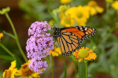 A monarch butterfly feeding on pink flowers in a Summer garden.