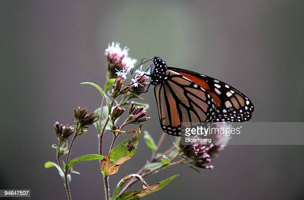 A monarch butterfly sits on a flower at the National Ecological Mexican Reserve in the state of Michoacan Mexico on Friday Feb 9 2007 Each year the...
