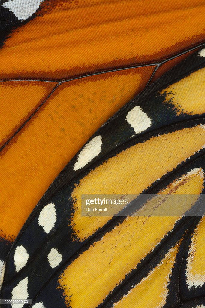 Monarch butterfly (Danaus plexippus) wing, detail