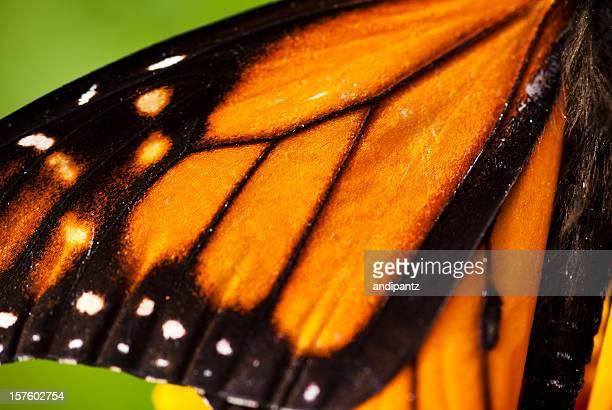 Aile de papillon monarque