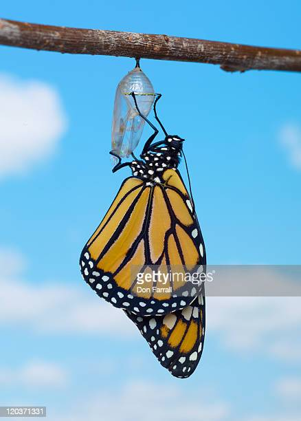 Monarch Butterfly, with Chrysalis