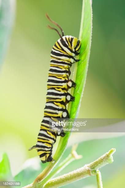 Monarch caterpillar crawling on leaf