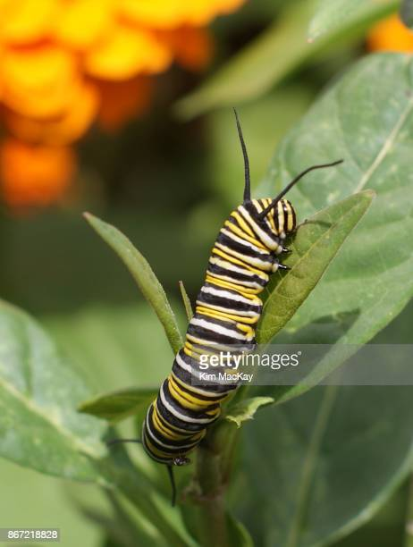 Monarch caterpillar eating a leaf