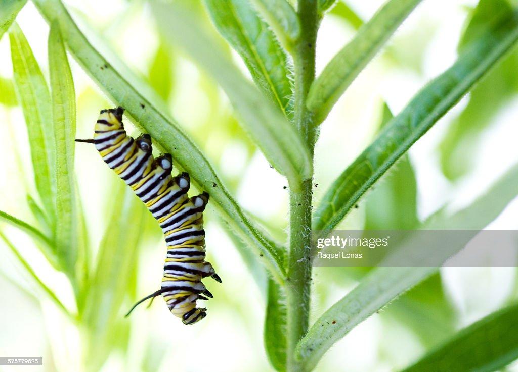 Monarch caterpillar hanging from milkweed leaf