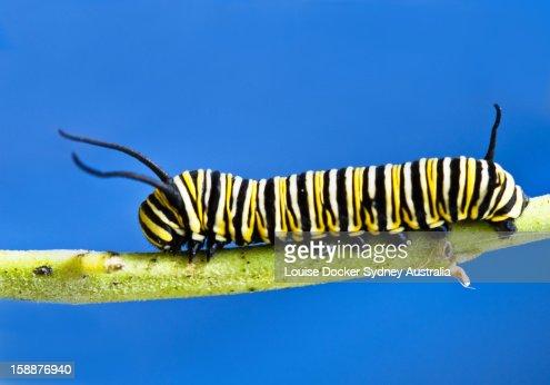 Monarch caterpillar : Stock Photo