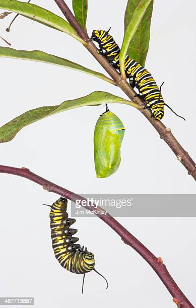 Monarch caterpillars and chrysalis