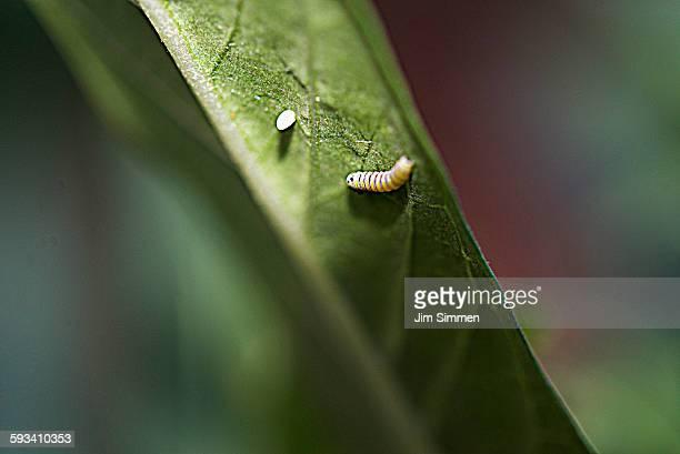 Monarch egg and first molt Caterpillar