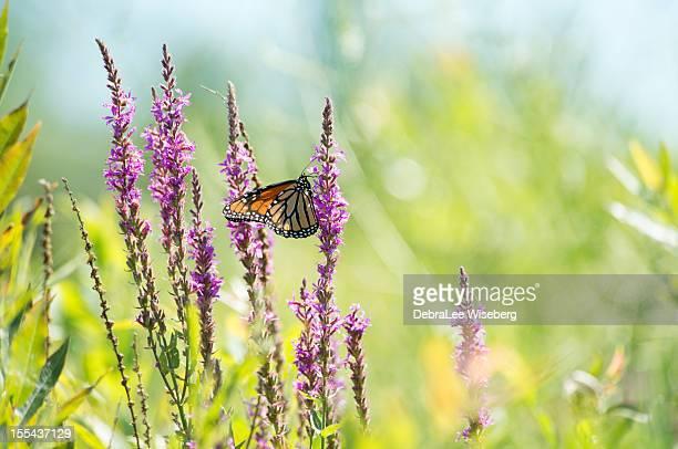 Monarch nel campo