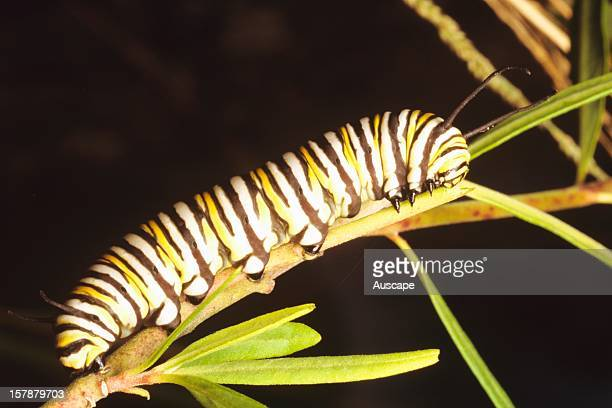 Monarch or Wanderer butterfly caterpillar used as biological control of the noxious weed Cotton bush or Cats egg Australia