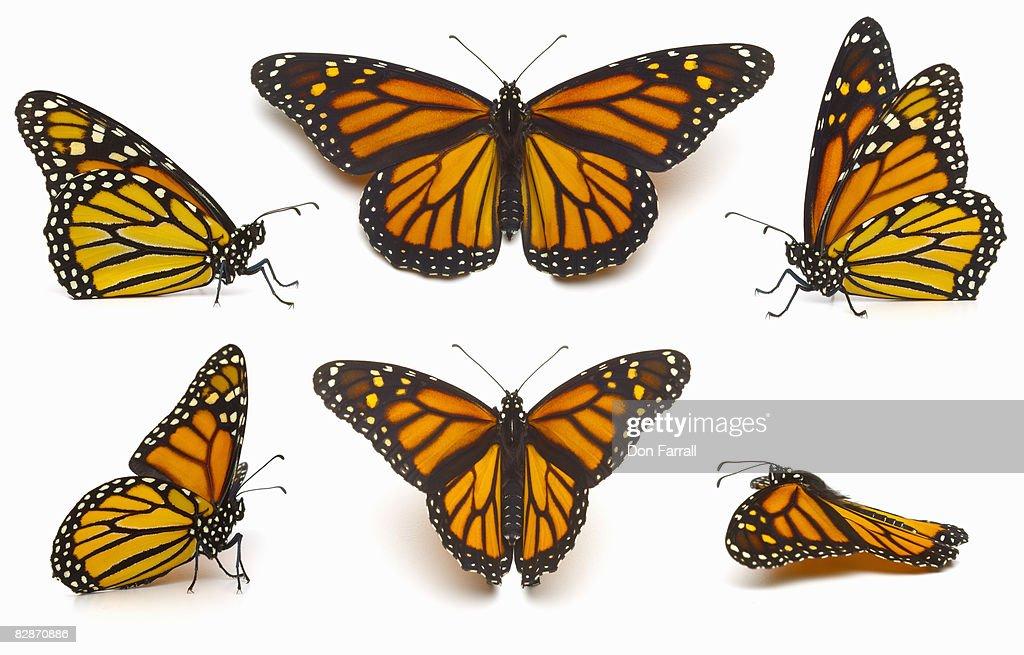 Monarch  : Stock Photo