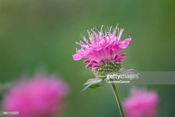 Monarda ディディマ、ハナバチクリームの花