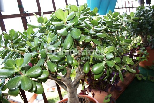 Arbre dargent crassula ovata sur le balcon photo thinkstock - Piante portafortuna ...