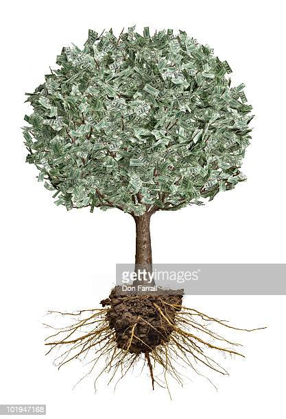 Money tree with roots exposed