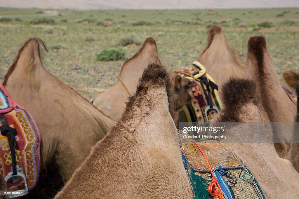 Mongolia: Bactrian Camel Humps in the Gobi : Foto de stock