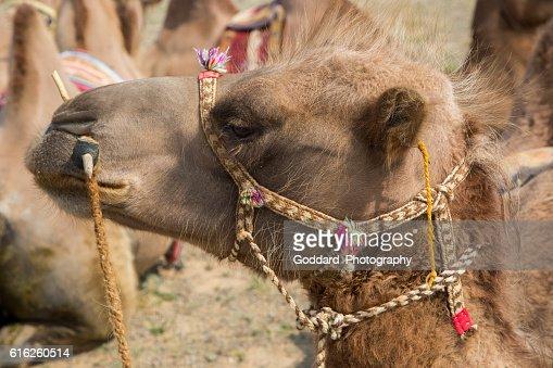 Mongolia: Bactrian Camel in the Gobi : Foto de stock