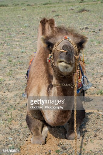 Mongolia: Bactrian Camel in the Gobi : Foto de stock