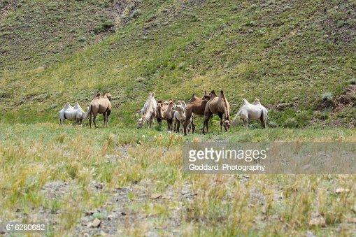 Mongolia: Bactrian Camels in the Gobi : Foto de stock