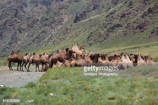 Mongolia: Bactrian Camels in the Gobi : Foto de stock