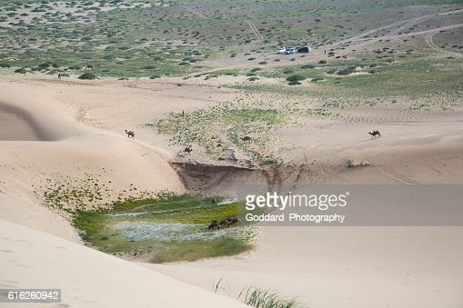 Mongolia: Bactrian Camels in the Gobi : Stock Photo