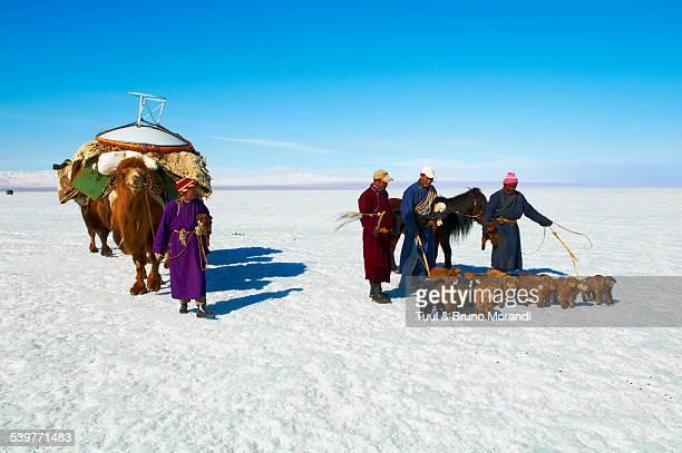 Mongolia, Khovd, transhumance, caravan of camels