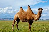 Mongolia,  Zavkhan, bactriane camel on the steppe