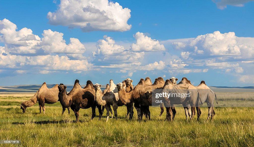 Mongolian bactrian camel : Stock Photo