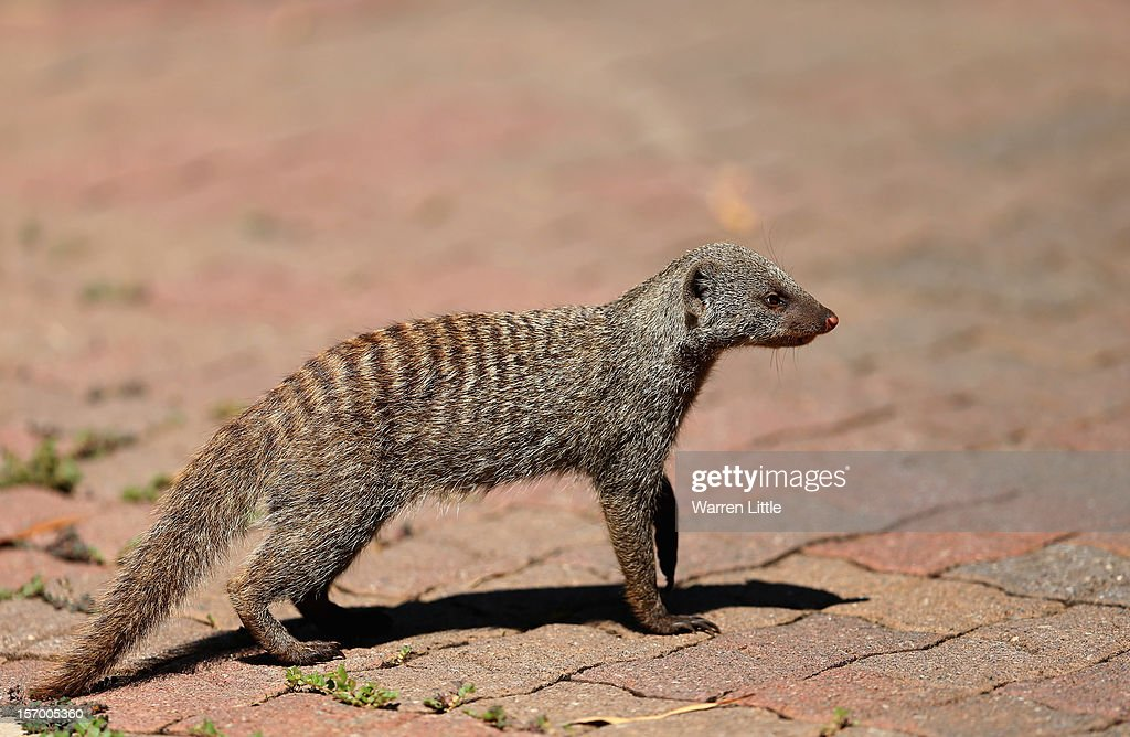A mongoose looks on during a practice round ahead of the Nedbank Golf Challenge at the Gary Player Country Club on November 27, 2012 in Sun City, South Africa.