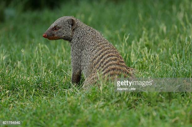 A mongoose looks on from the ninth hole ahead of the Nedbank Golf Challenge at the Gary Player CC on November 8 2016 in Sun City South Africa