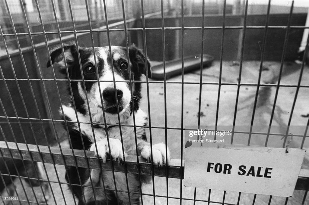 A mongrel in an enclosure at Battersea Dogs Home, south London. This image was used in a pre-Christmas appeal to find good homes for hundreds of stray dogs.