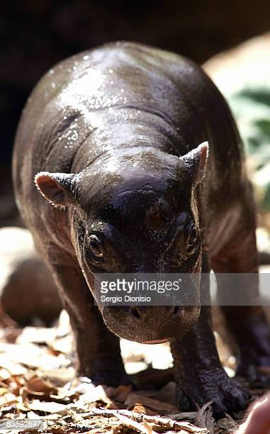 Monifa a one month old baby Pygmy Hippopotamus inspects her enclosure at Taronga Zoo on November 7 2008 in Sydney Australia Monifa is the first Pygmy...