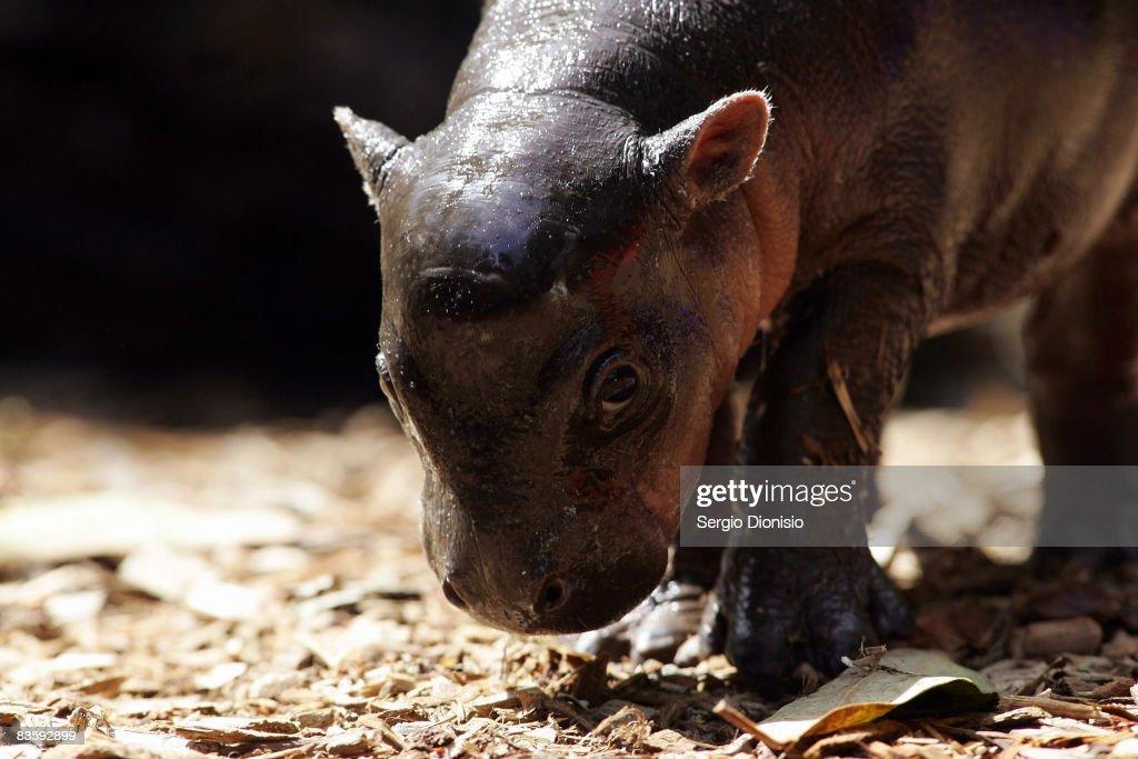 Taronga Zoo welcomes baby Pygmy Hippo