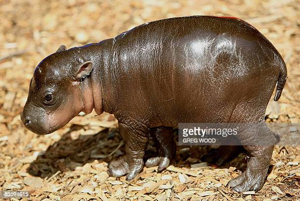 'Monifa' a Pygmy Hippopotamus female calf explores its enclosure at Taronga Zoo on November 7 2008 'Monifa' which means 'I am lucky' in Nigerian was...