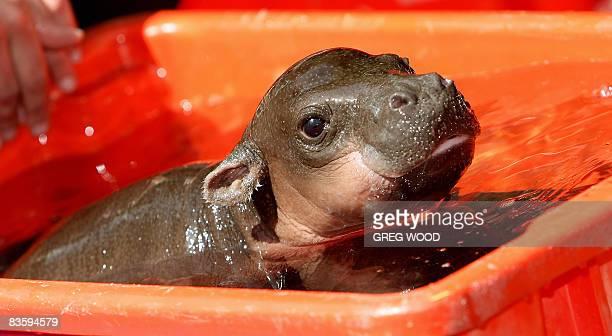 'Monifa' a Pygmy Hippopotamus female calf is given a bath at Taronga Zoo on November 7 2008 'Monifa' which means 'I am lucky' in Nigerian was born on...