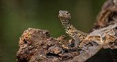 Monitor Lizard, Africa, South Africa, aquatic, scaled