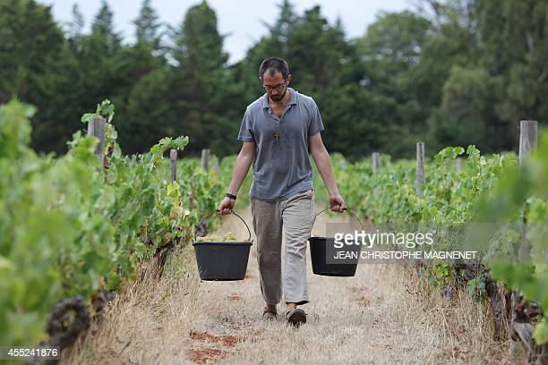 A monk of 'Abbaye de Lerins' harvests grapes on Agust 26 at the Saint Honorat island in the bay of Cannes southeastern France AFP PHOTO / JEAN...