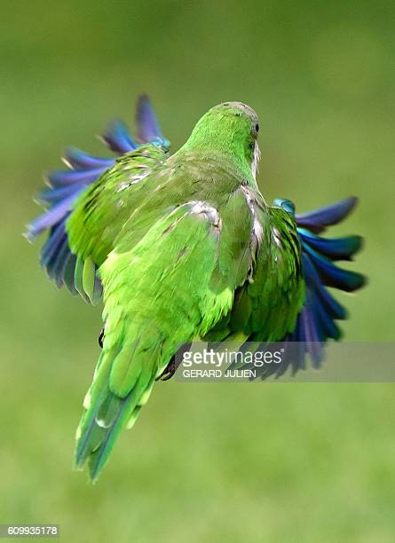 A monk parakeet also known as the quaker parrot flies at the Atena park of Madrid on September 15 2016 The monk parakeet as an invasive species has...