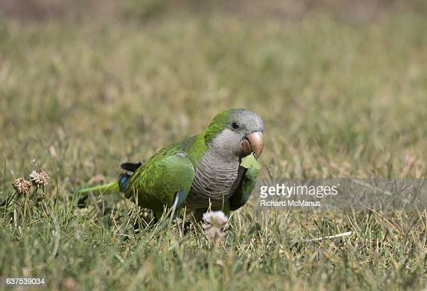 Monk parakeet feeding.