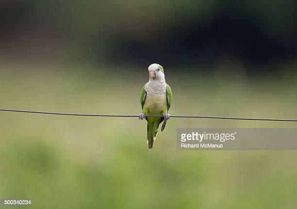 Monk parakeet in the Pantanal.
