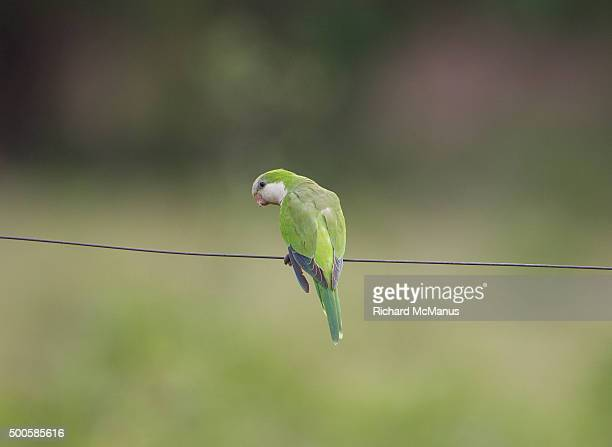 Monk parakeet perched on wire in the Pantanal.