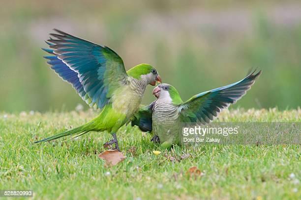 Monk Parakeet (Myiopsitta monachus) quarrel