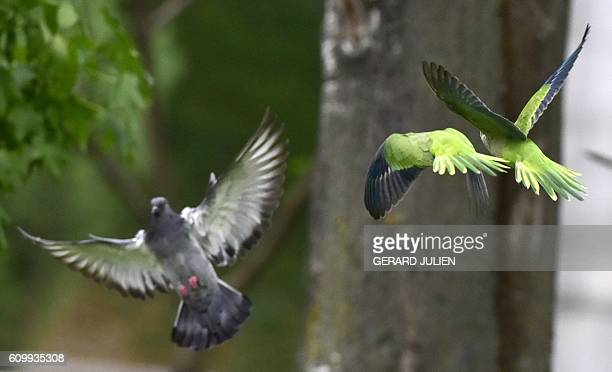 Monk parakeets also known as the quaker parrot fly past a pigeon at the Atena park of Madrid on September 15 2016 The monk parakeet as an invasive...
