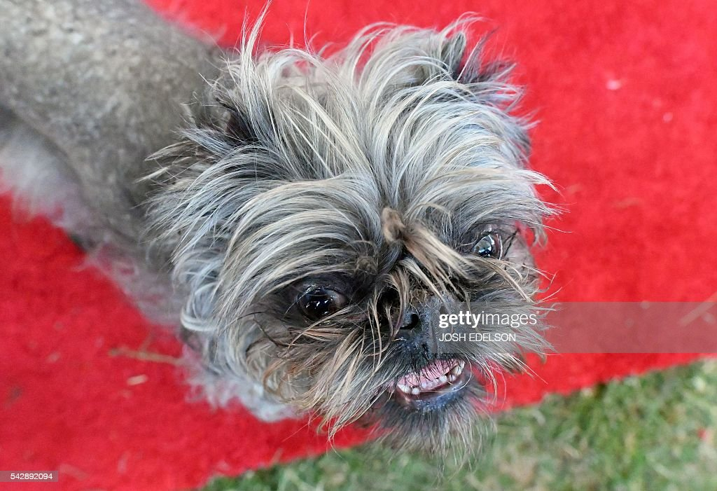 Monkey a Brussels Griffon owned by Scotch Hayley walks along the red carpet during the World's Ugliest Dog Competition in Petaluma California on June...