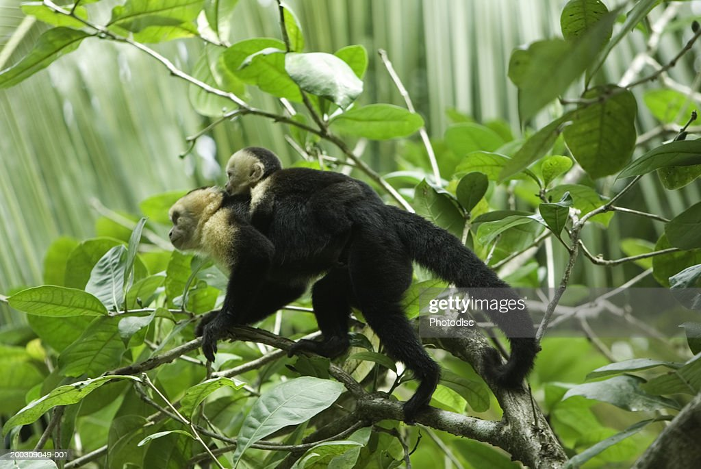 Monkey carrying young on back, standing on branch