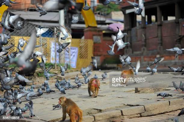 Monkey chasing peigons at the premises of Pashupatinath Temple Kathmandu Nepal on Thursday August 24 2017
