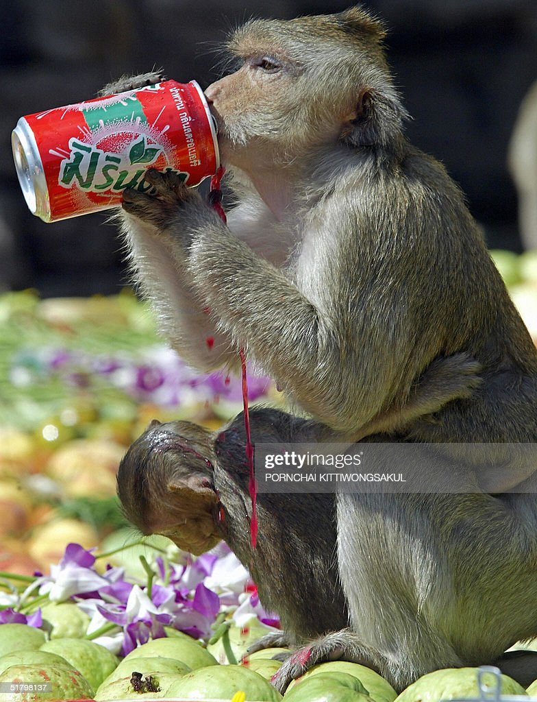 annual monkey buffet festival photos and images getty images