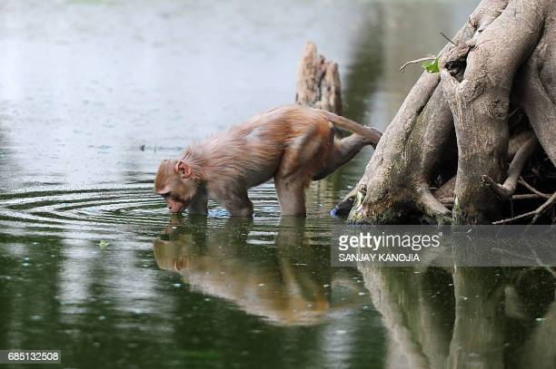 A monkey drinks from a pond on a hot day in Allahabad on May 19 2017 According to local reports temperatures have soared in the northern Indian city...