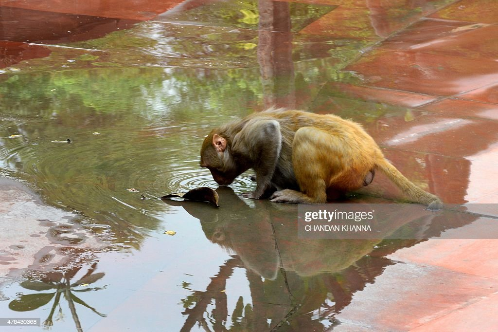 A monkey drinks water from a puddle in New Delhi on June 9 2015 AFP PHOTO / Chandan KHANNA