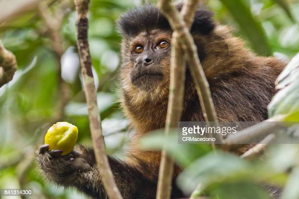 Monkey eating plums amidst the branches.